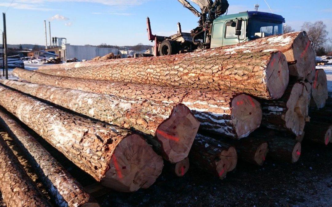 Rekordowo gruba sosna w Zakładzie Drzewnym w Napiwodzie